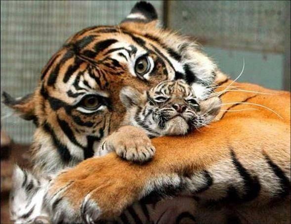 Tigre petit - Photo de tigre a imprimer ...